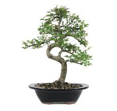 chinese elms are great outdoor trees chinese elm bonsai tree