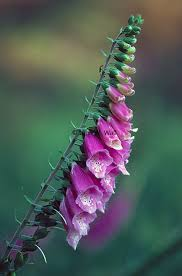 Digitalis purpurea Calflora