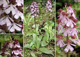 Orchis purpurea Huds. - Sistema informativo sulla flora vascolare ...