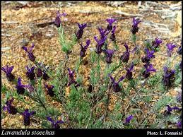 Lavandula stoechas L.: FloraBase: Flora of Western Australia