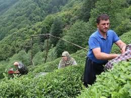 Yaş çay alım fiyatları açıklandı