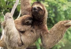 Resultado de imagen de oso perezoso durmiendo