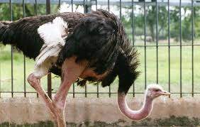 Image result for ostrich bird