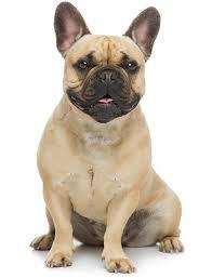 <b>French Bulldog</b>: Temperament, Lifespan, Grooming, Training | Petplan