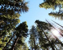 new mexico home decor: alpine forest landscape photography print trees from below nature wall art new mexico home decor