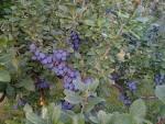 damson plum tree