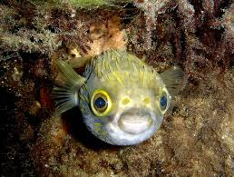 <b>Happy Baby</b> Puffer Fish | Beautiful tropical fish, Puffer fish, <b>Ocean</b> ...