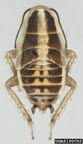 Blattella asahinai