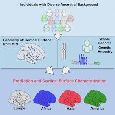 Modeling the <b>3D geometry</b> of the cortical surface with genetic ancestry