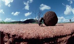Image result for dung beetle