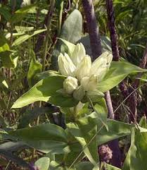 Online Virtual Flora of Wisconsin - Gentiana alba