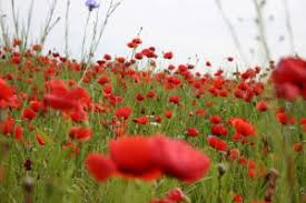 <b>Papaver poppy</b> - sowing, planting and advice on caring for it