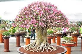 desert rose bonsai tree bonsai trees for beginners bonsai tree interior