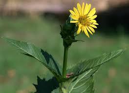 Silphium perfoliatum - Wikipedia