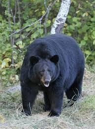 American <b>black bear</b> - Wikipedia
