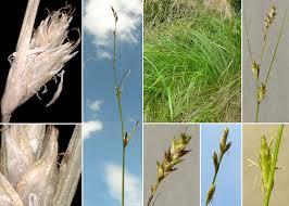 Carex remota L. - Sistema informativo sulla flora delle Alpi Carniche ...