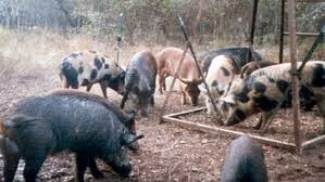 Rising populations of wild hogs worrying experts, many deemed ...