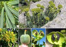 Euphorbia characias L. - Portale della Flora di Roma