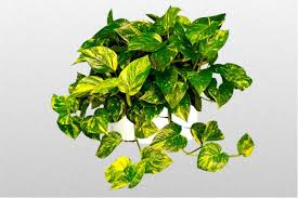 devils ivy golden pothosmoney plant best office plant no sunlight