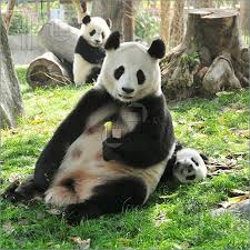 Resultado de imagem para panda chengdu