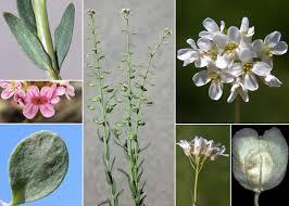 Aethionema saxatile (L.) R.Br. - Flora urbana della città di Trieste