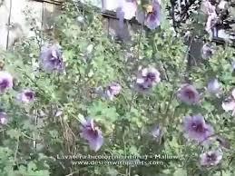 Lavatera bicolor (maritima) - Mallow - YouTube