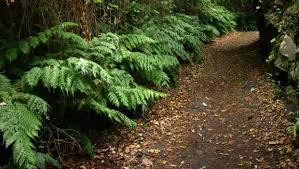 Image result for walking fern
