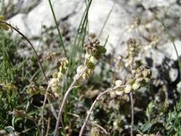 Clypeola jonthlaspi L. subsp. microcarpa (Moris) Arcang.
