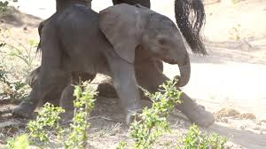 Hilarious <b>Baby Elephant's</b> First Steps - YouTube