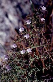 Sea Lavender/Limonium cancellatum