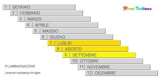 Limonium morisianum [Limonio di Moris] - Flora Italiana