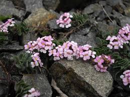 Aethionema saxatile - Wikipedia