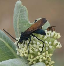 Tarantula hawk - Wikipedia