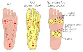 The <b>Arches</b> of the <b>Foot</b> - Longitudinal - Transverse - TeachMeAnatomy