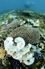 why coral reefs are dying sunscreen killing reefs com