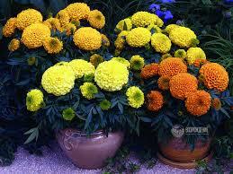<b>Семена</b> цветов <b>Тагетес</b> / <b>бархатцы</b>. Фото, цена, описание семян ...