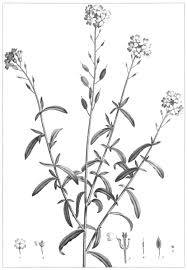 File:Berteroa mutabilis 0355.png - Wikimedia Commons