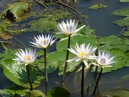 Nymphaeaceae - Wikipedia