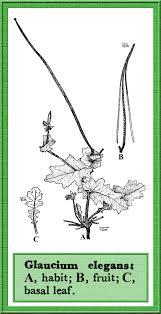 Glaucium in Flora of Pakistan @ efloras.org