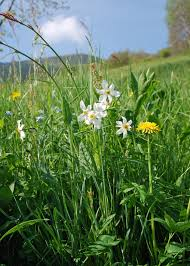 Valle Brembana • Narciso - Narcissus poëticus L. : Flora Spontanea ...