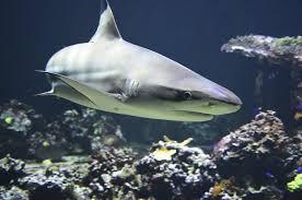 Resultado de imagen para tiburón pez