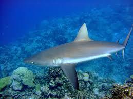 shark sanctuaries marine conservation institute shark sanctuaries