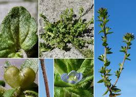 Veronica arvensis L. - Sistema informativo sulla flora delle Alpi ...