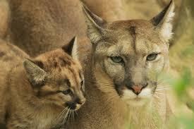 Image result for Mountain lion's six month old kitten or cub?