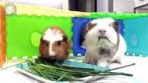 Guinea <b>Pigs</b> - A Funny And <b>Cute</b> Guinea <b>Pig</b> Videos Compilation ...