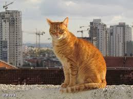 תוצאת תמונה עבור חתול גינגי יושב על גדר