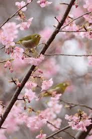 <b>Birds</b> like sakura | <b>Birds</b>, Beautiful <b>birds</b>, Pretty <b>birds</b>