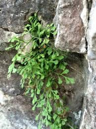 Asplenium ruta-muraria - Michigan Flora