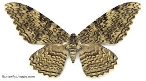 White <b>Witch</b> Moth   White <b>witch</b>, Moth, Tea <b>stained</b> paper - Pinterest
