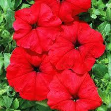 <b>Петуния ампельная Лавина</b> пурпурная F1 (71215): купить <b>семена</b> ...